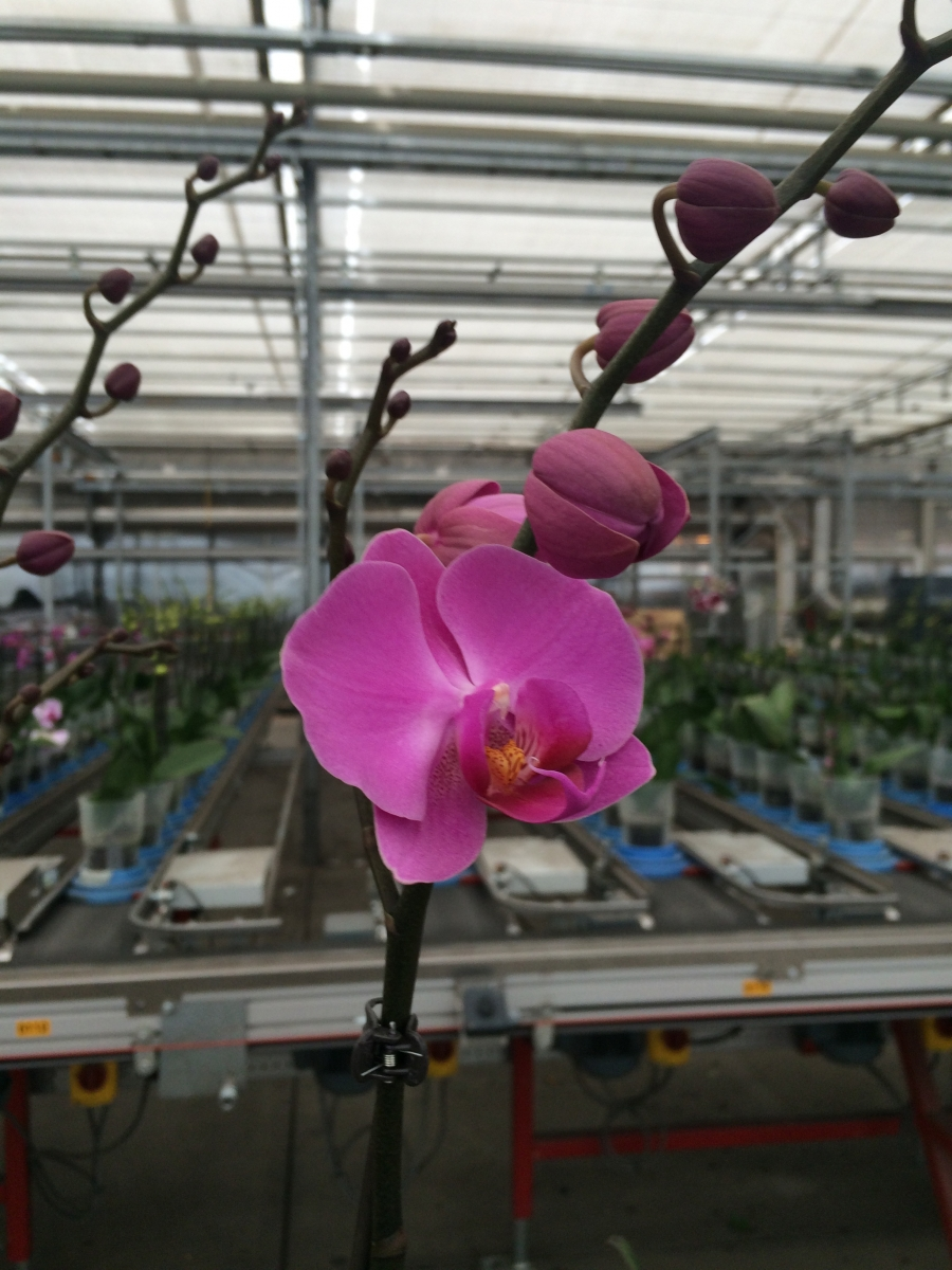 Ohio's Green Circle Growers supplies 110,000 orchids a week.