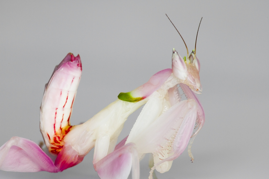 juvenile orchid mantis