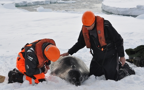 Researchers work on a seal