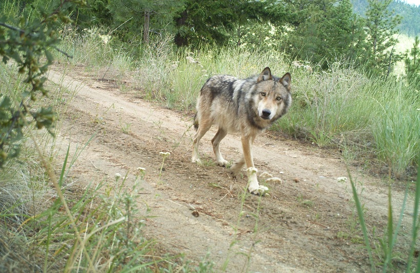 Wolves were eradicated from Washington state in the early 20th century, but they've begun repopulating the state over the last decade. This photo was shot by the state's wildlife department in 2014.