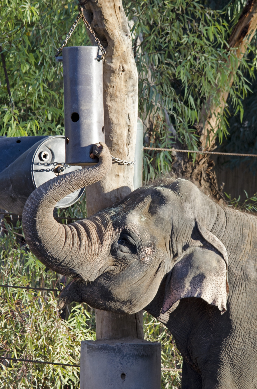 An elephant at the Phoenix Zoo getting a snack from a puzzle feeder.
