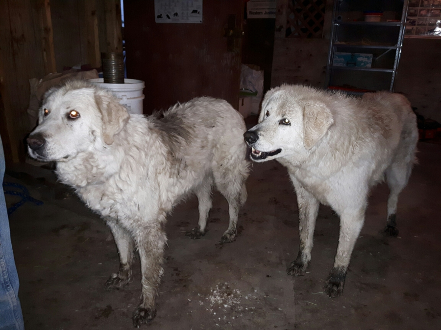 Maremma sheepdogs Sophie (right) and Tad save the day.