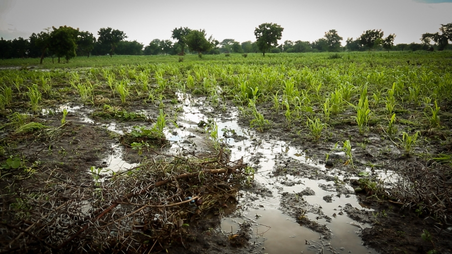 Corn withers in a flooded field in the the flood zone in southern Malawi. Widespread destruction of crops is raising concern that a famine will follow the flooding disaster.