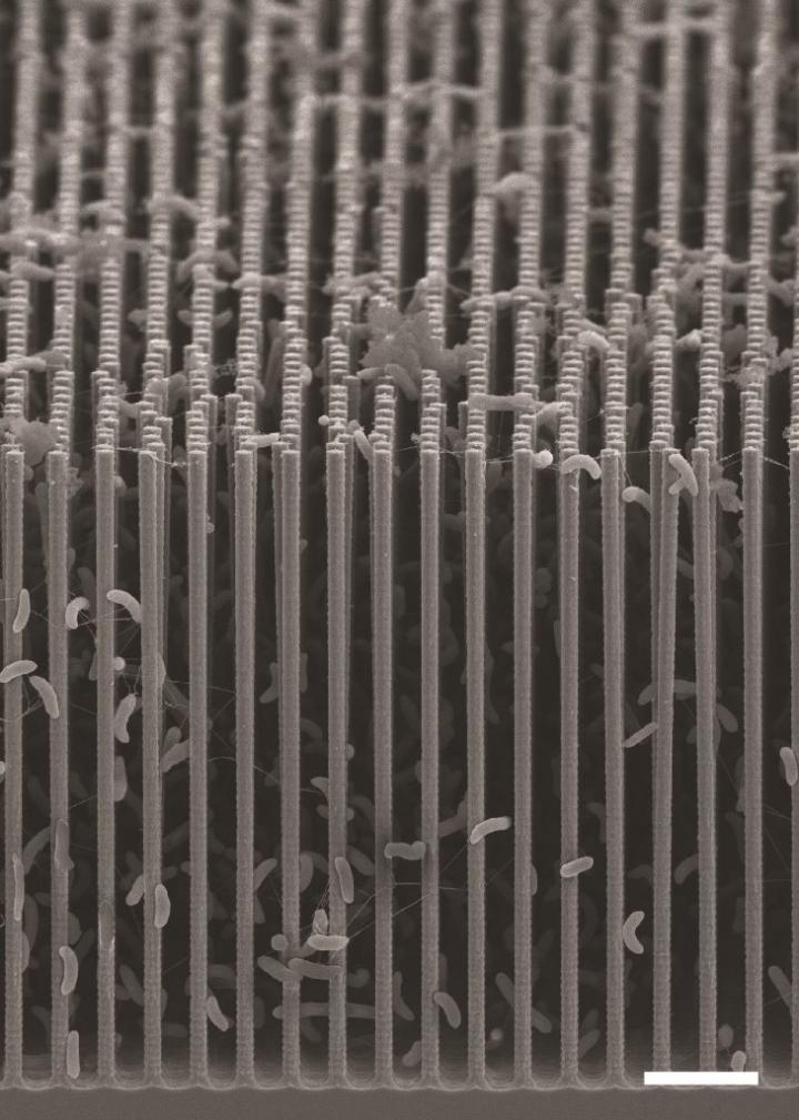 Bacteria cling to the nanowires in this scanning electron microscope image of the artificial photosynthesis system created by Chris Chang and his colleagues at UC Berkeley. Each of the wires is orders of magnitude thinner than a human hair.