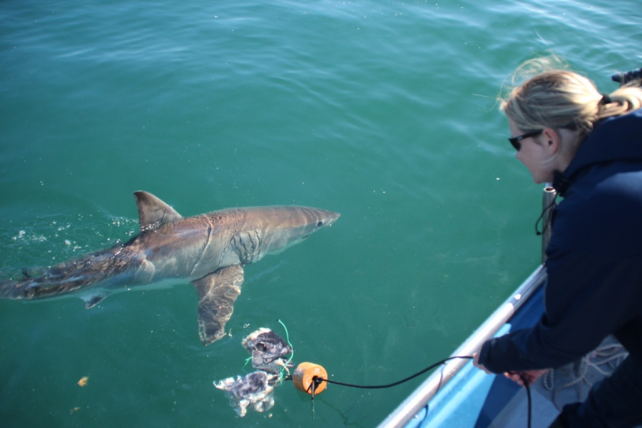 Alison Kock with a great white shark off the coast of South Africa.