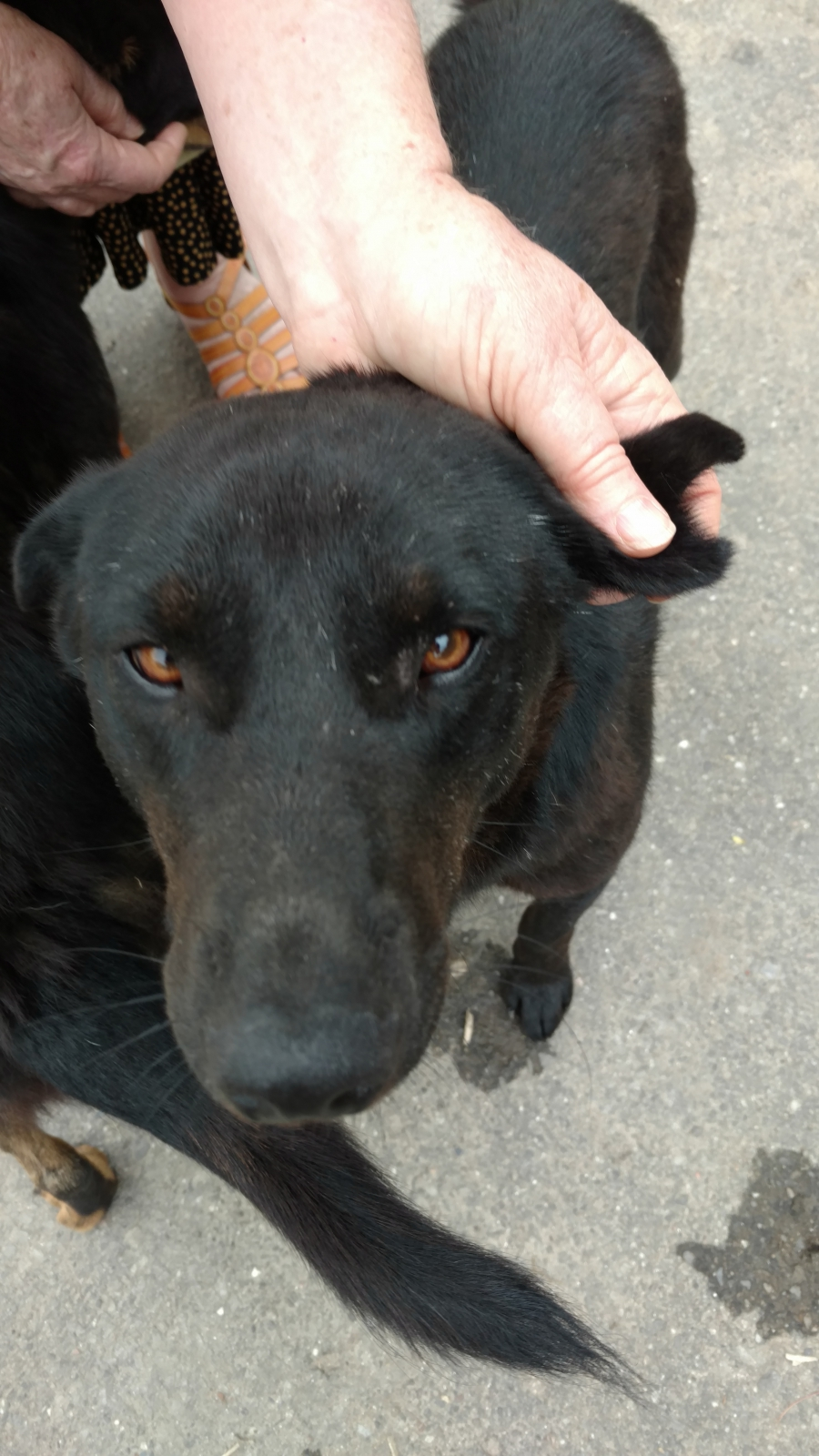 A stray dog in Paro, Bhutan, with the trademark triangle-shaped notch in his ear, the sign that he's been neutered.