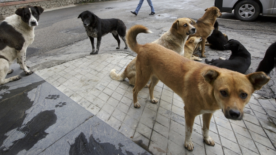 Street dogs lounge around in Bhutan's capital Thimpu as people walk by. As shown by the dog in the front, when dogs are vaccinated and sterilized, their ears are notched to mark them as treated.
