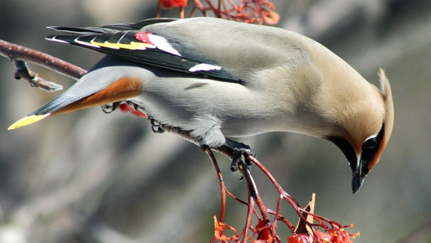 A Bohemian waxwing eating fermented berries