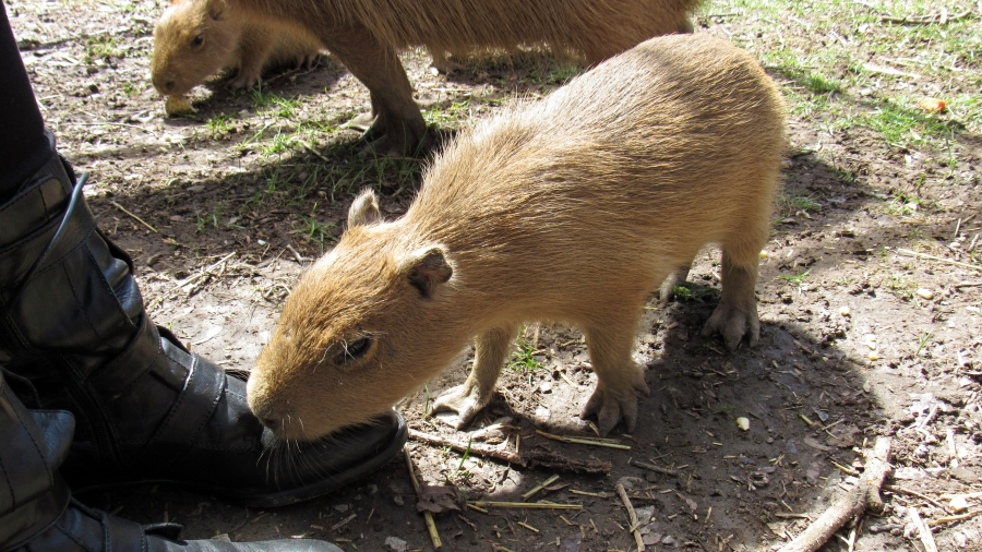 A capybara baby gnawing on reporter Andrea Crossan's boot.