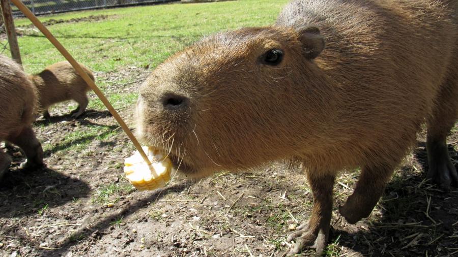 Capybaras love to munch on raw corn on the cob.
