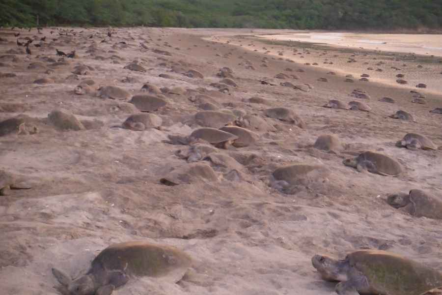 At the height of nesting seasons, hundreds of turtles can come to the beach to lay their eggs.