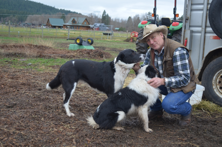 """Bill Johnson raises cattle but the first animal he lost to a wolf after they returned to the region was one of his beloved border collies. When that happen, Johnson says, he wanted """"to kill every wolf in the Teanaway."""""""