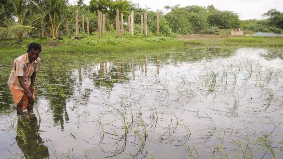 Salt-tolerant rice has helped Sundarbans farmer Bhagyadhar Pramanik maintain production after tropical storm Aila inundated his farmland with salt water.