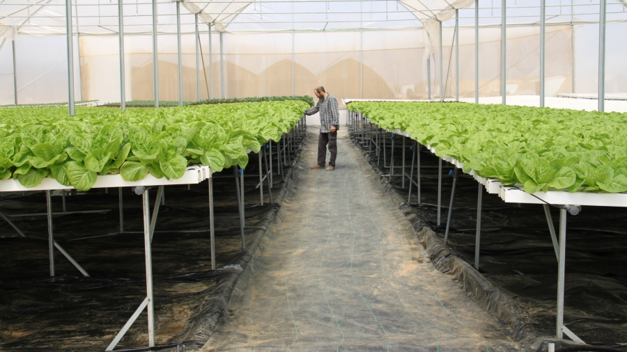 In the desert community of Bnei Netzarim near the Egyptian border, lettuce is grown hydroponically on raised platforms to adhere to the biblical mandate that land lay fallow.