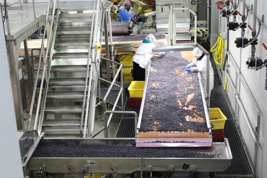 overhead view of factory floor, berries being processed