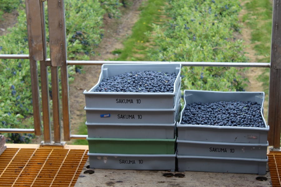 Crates of blueberries in front of field