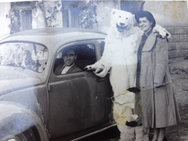 A polar bear stands next to a Volkswagon car