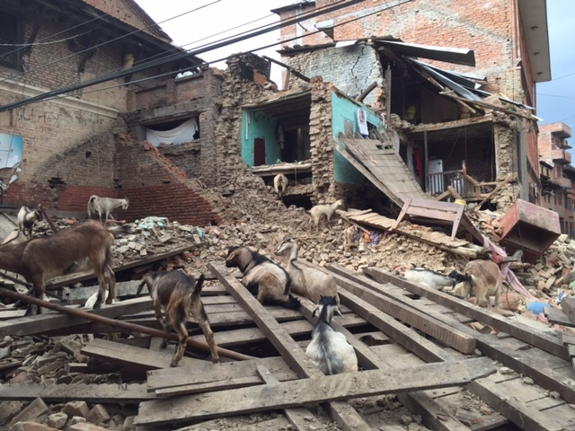 Goats hunt for food in the wreckage of Khokana's pati, a traditional open-air meeting place.