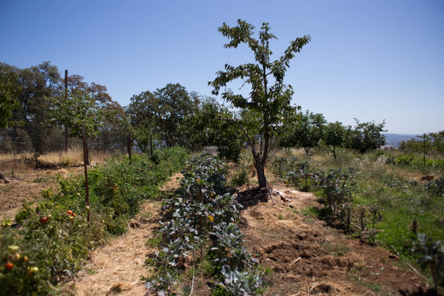 Caspi has planted several rows of vegetables between the trees in a cherry orchard to maximize his yield using the least amount of space and water. Where many California farmers use flood irrigation, Caspi uses organic material to enrich the soil and help