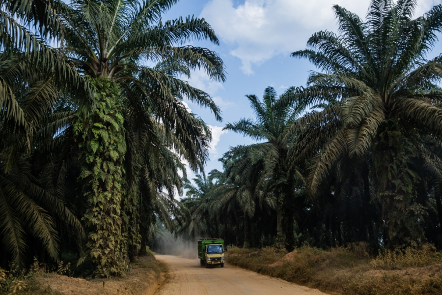 Dump trucks transporting clusters of oil-palm fruits ply the dirt roads inside the Asiatic Persada concession on Sumatra around the clock.