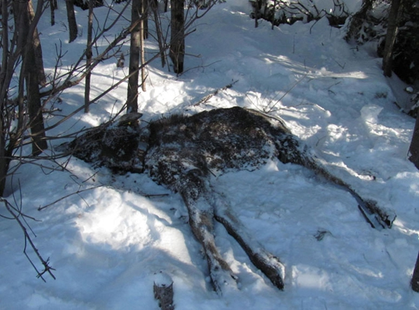 Moose dead in snow