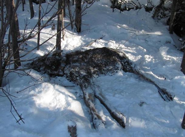 Moose dead in snow