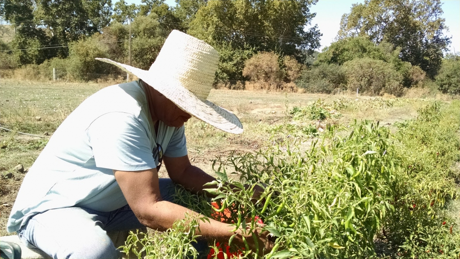 Menkir Tamrath picks peppers at his farm for his spice blends. He says when he was a kid in Ethiopia his father never set foot in the kitchen.