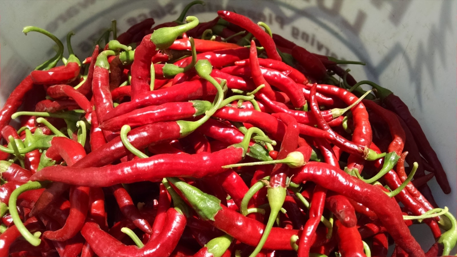 Red Mimita peppers grown on Menkir Tamrath's farm. He'll dry and crush them for an Ethiopian spice mix.