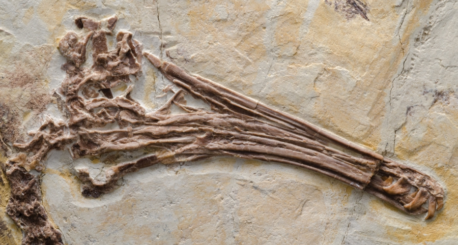 Jehol birds of the now-extinct enantiornithine lineage