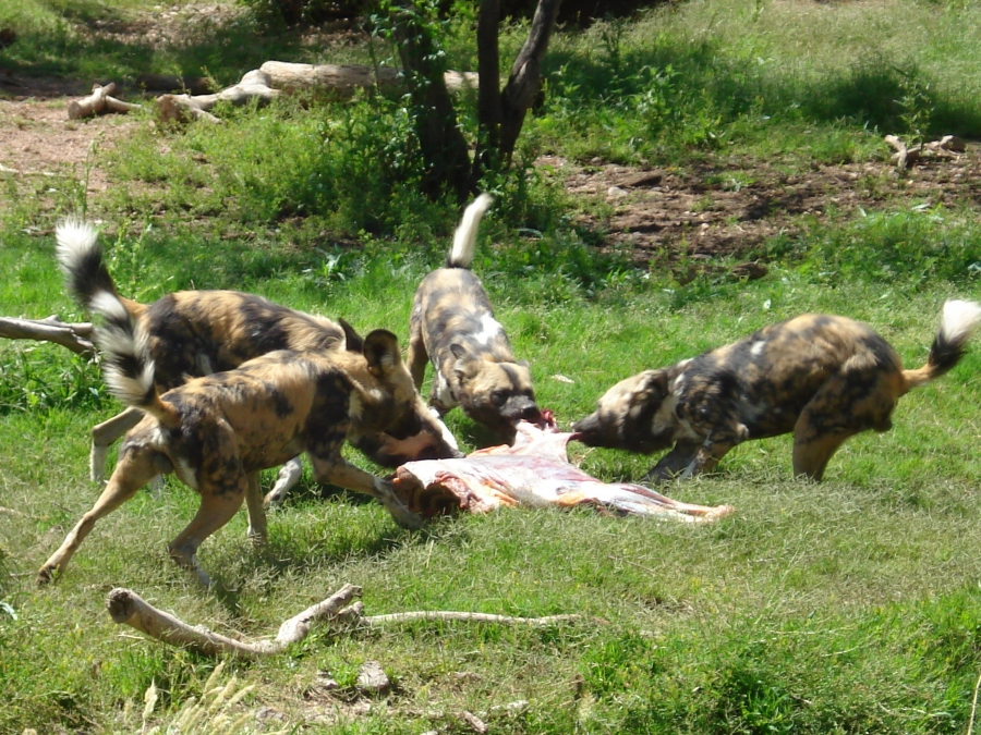 Painted dogs tearing apart a carcass. Behavioral enrichment is about giving animals in zoos opportunities that bring out natural behaviors, says Hilda Tresz.