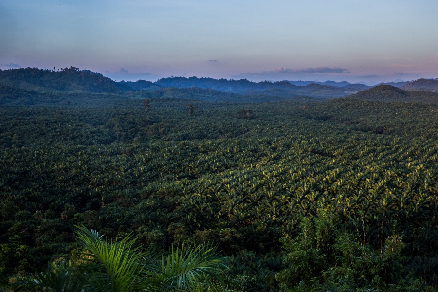 A view of a palm oil plantation outside Kawthaung, Myanmar, Nov. 14, 2016. Huge plantations were built after thousands of acres of rainforest was cleared in southern Myanmar.