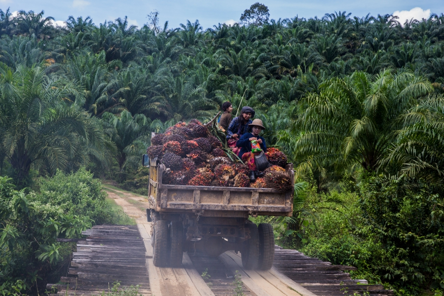 Workers sit atop the fruit bunches in the back of a truck in Asia World palm oil plantation in Bank Mae Village, Myanmar, Nov. 11, 2016  Fruit bunches are collected from throughout the plantation and brought to a central mill for processing.