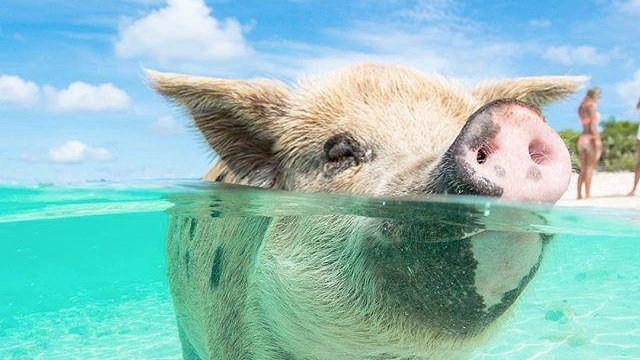 Rip Swimming Pigs Several Of The Adorable Tourist Friendly In Bahamas Have Been Found Dead