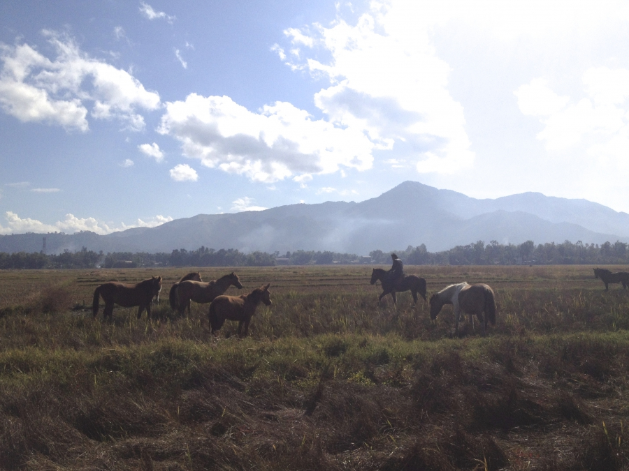 Manipuri ponies grazing. The state of Manipur has pledge to create a sanctuary for the ancient breed whose numbers are dwindling.