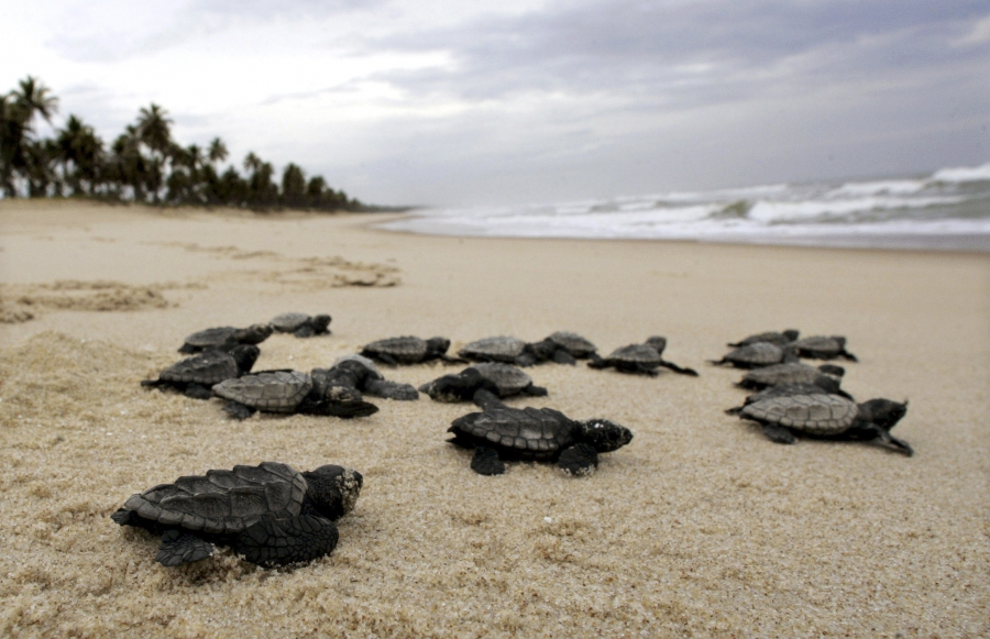 New born sea turtles make their way across a beach to the ocean.