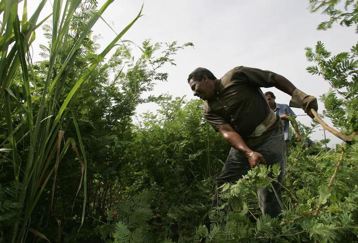 """Farmers cut down a prickly brush or """"marabu"""" near Bayamo in Cuba.  Marabu is a waist-high weed that farmers call the """"witch's weed"""" because it quickly renders farm pastures useless."""