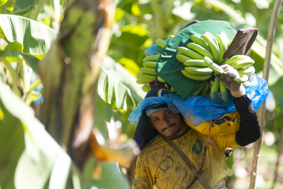 A man carries bananas at the Tropical Nordeste S.A farm, in Limoeiro do Norte, in Ceara state. (REUTERS/Davi Pinheiro)
