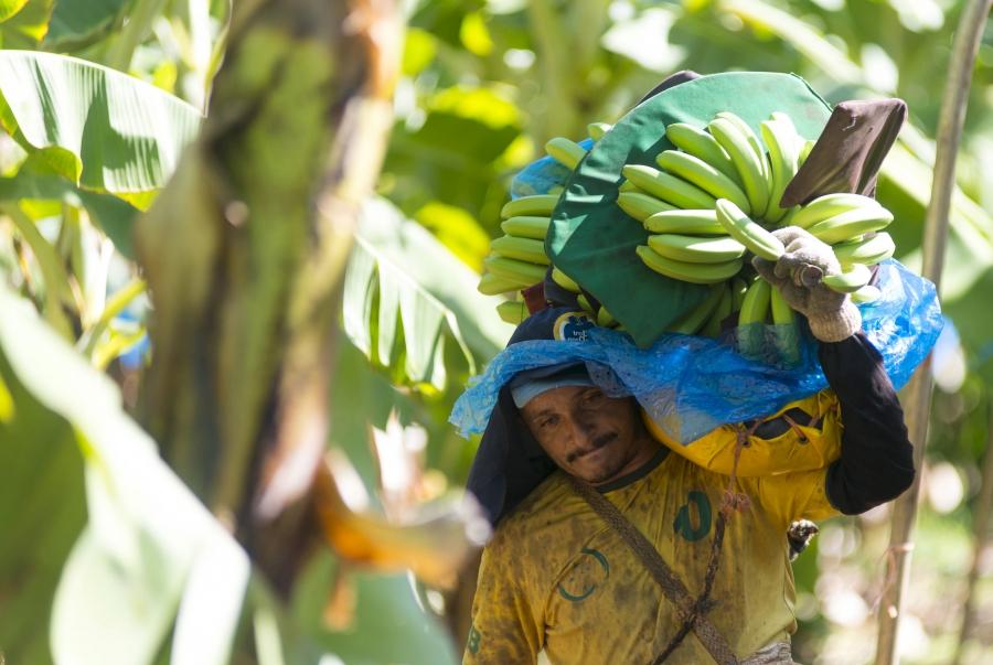 A man carries bananas at the Tropical Nordeste S.A farm, in Limoeiro do Norte, in Ceara state.