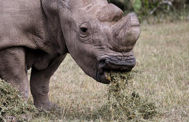 The last surviving male Northern White Rhino named Sudan grazes at the Ol Pejeta Conservancy in Laikipia National Park, Kenya.