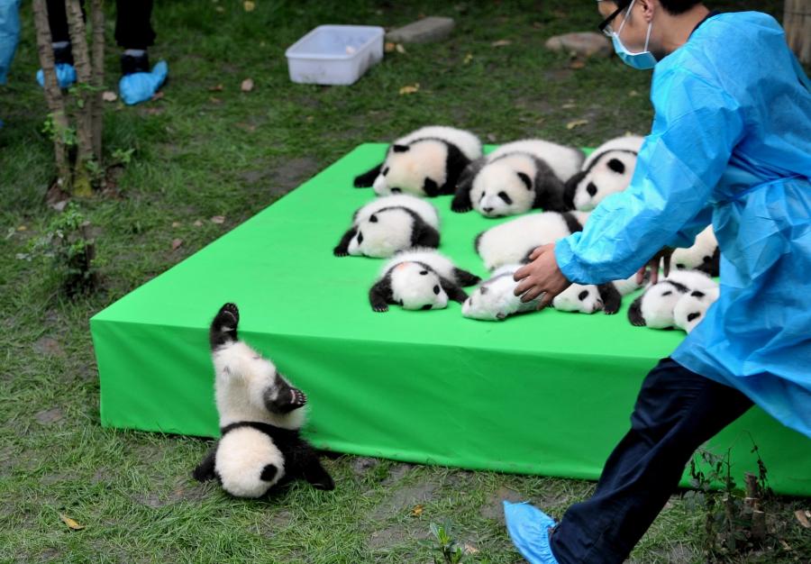BABY PANDA FACEPLANT!