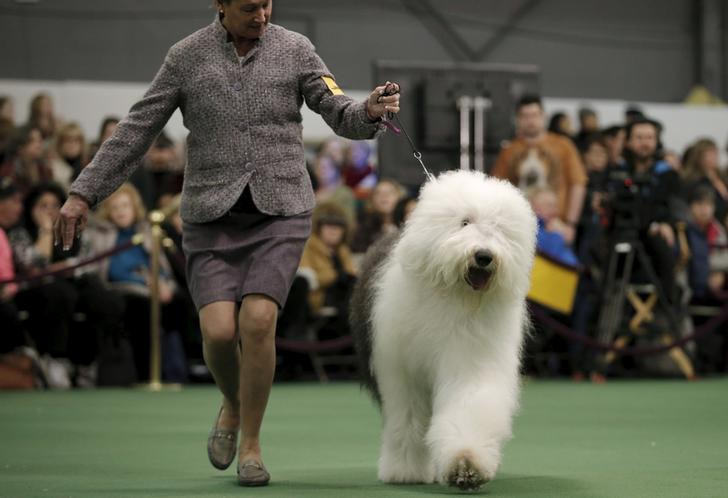 A handler runs an Old English sheepdog in the ring during judging at the 2016 Westminster Kennel Club Dog Show in the Manhattan borough of New York City, February 15, 2016.