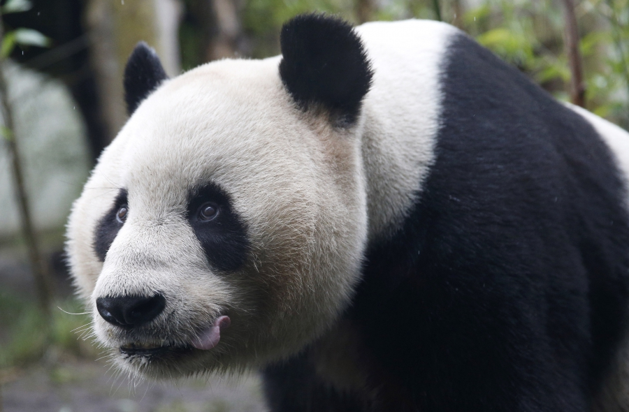 Tian Tian, a giant panda walks in the outdoor enclosure at Edinburgh Zoo ,Scotland April 12, 2016. The Royal Zoological Society of Scotland and Royal Botanic Garden Edinburgh will perform research into the complexity of the panda diet.