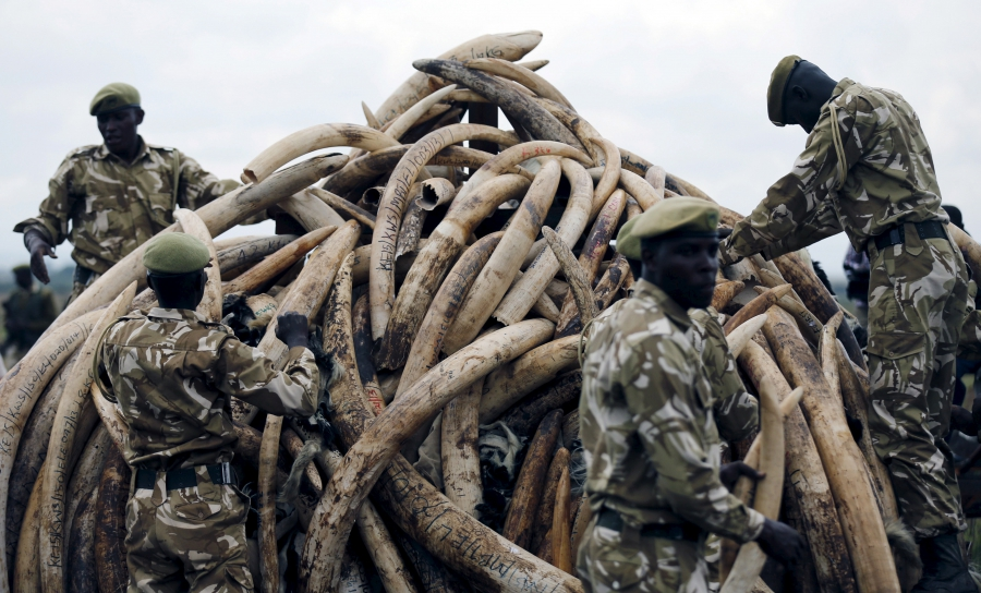 Kenya Wildlife Service rangers stack elephant tusks, part of an estimated 105 tonnes of confiscated ivory to be set ablaze, on a pyre at Nairobi National Park near Nairobi, Kenya, April 20, 2016.