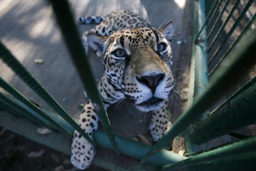 A jaguar in at a zoo in Managua, Nicaragua. The species' numbers have dwindled in several Latin American countries.