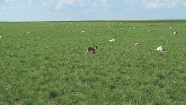 A solitary saiga stands in a landscape littered with carcasses. (Royal Veterinary College, Alexa Wolfs)