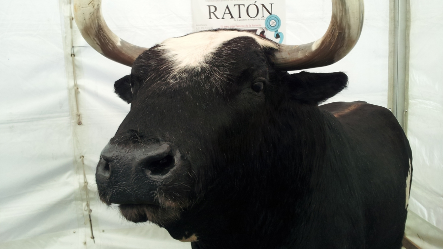 "Killer bull ""Raton"" lives at his home ranch after being taxidermied"