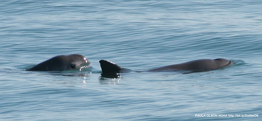 A very small and very shy porpoise, the vaquita marina lives only in the far north of Mexico's Sea of Cortez, also known as the Gulf of California. It's been brought to the edge of extinction by fishing for another endangered but extremely coveted marine
