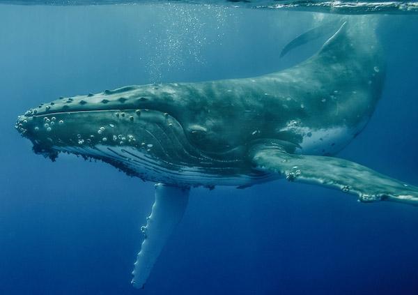 Art Wolfe whale