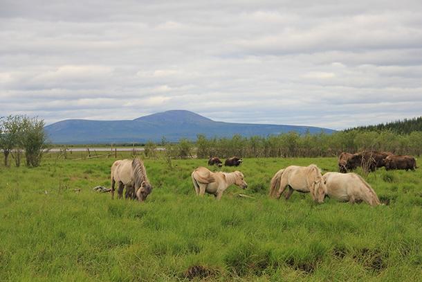 Yakutian horses grazing