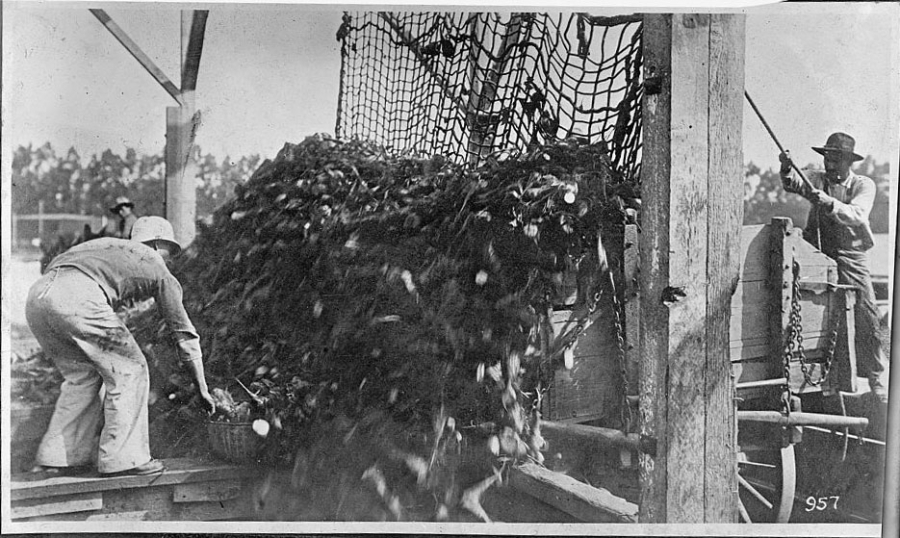 A worker unloads a large pile of beets from a wagon, in a black and white photo.